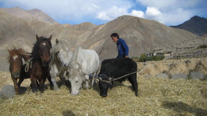 [Thumbnail for threshing-with-horses-in-ladakh.JPG]