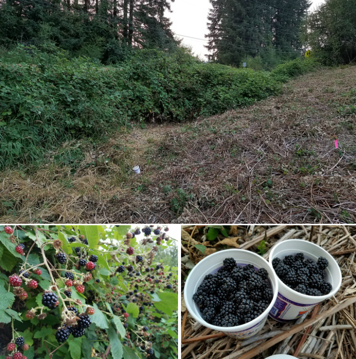 [Thumbnail for blackberry-fence-harvest.jpg]