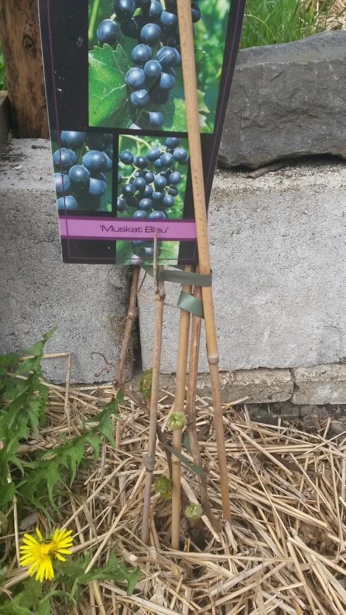 [Thumbnail for grape-plant-survived-the-winter.jpg]