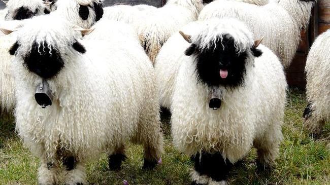 [Thumbnail for Valais-Blacknose-Sheep-Swiss-Breed-tongue-out.jpg]