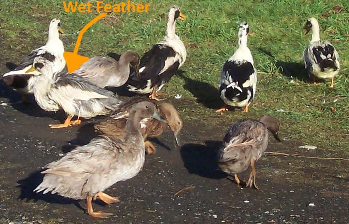 [Thumbnail for Wet-Feather-Ducks.jpg]
