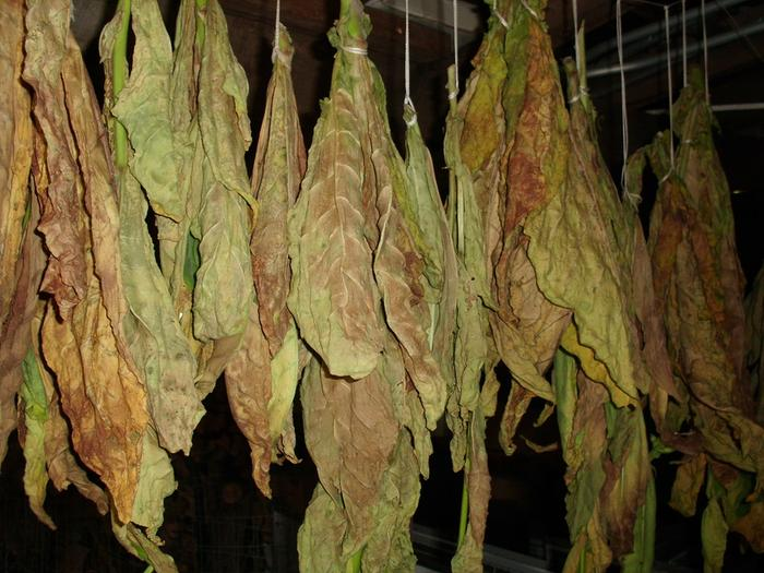 [Thumbnail for drying-tobacco.jpg]
