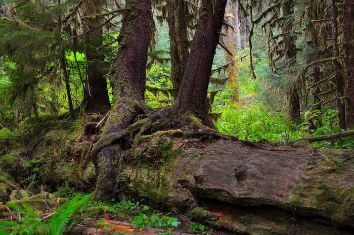 [Thumbnail for Nurse_log_in_Hoh_Rainforest_OlympicNationalPark-WA_by_faungg_Flickr.com.jpg]