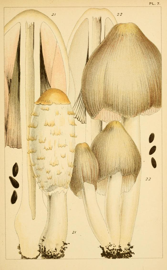 [Thumbnail for Coprinus_comatus-_shaggy_ink_cap-_lawyer-s_wig-_shaggy_mane_(Pl._7)_BHL2978947_WikiMedia.org.jpg]