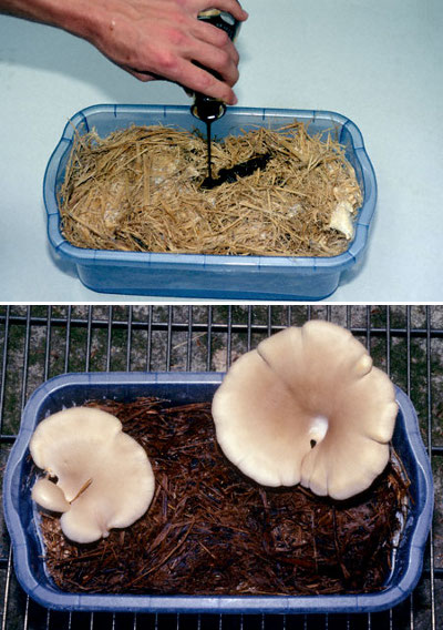 [Thumbnail for MYCOREMEDIATION-Mushroom_eats_oil_2011.03.13-_WaldenEffect.org.jpg]