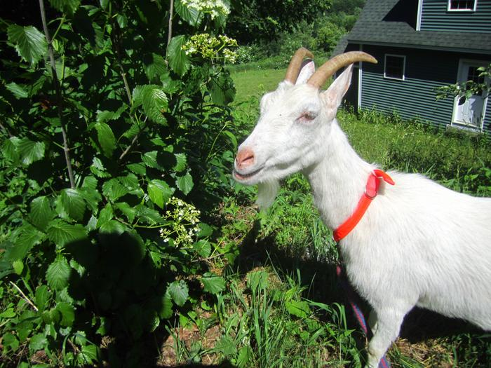 [Thumbnail for permaculture-goat.jpg]