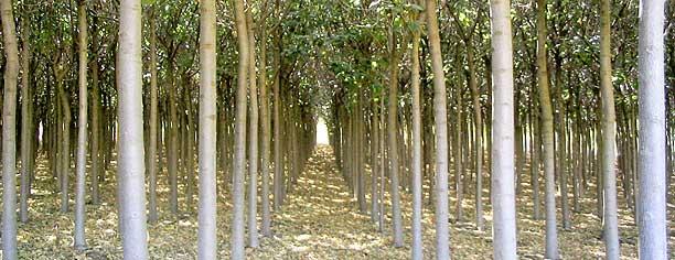 Paulownia Or Empress Splendor Tree For Coastal British