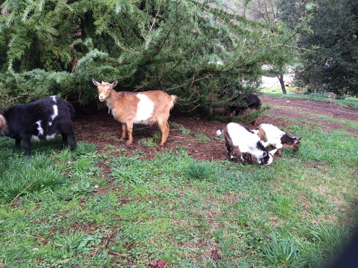 goats eating deodor cedar