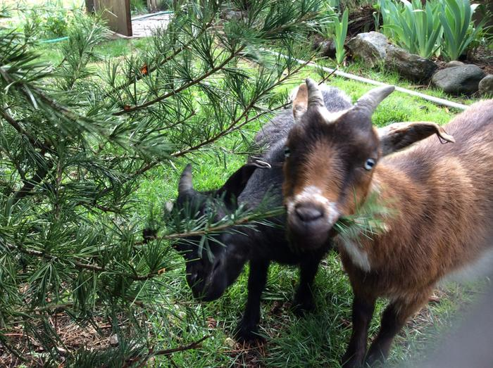 goats eating cedar