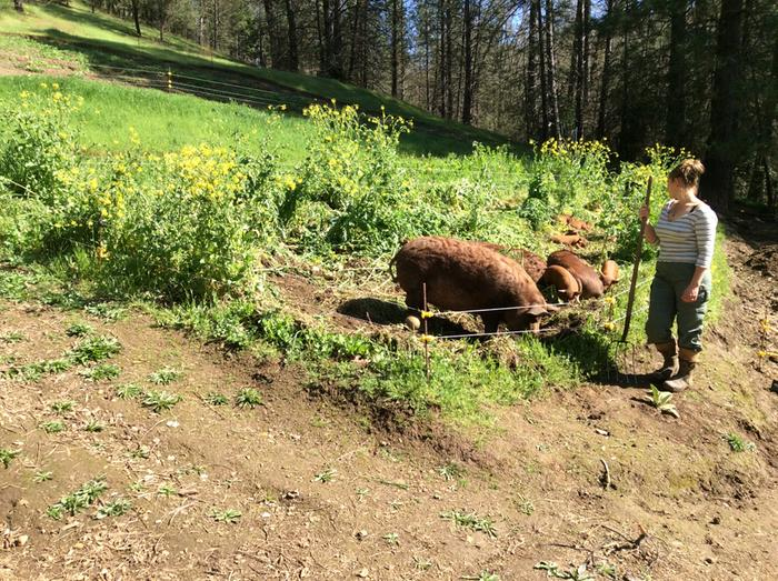 pigs creating garden bed