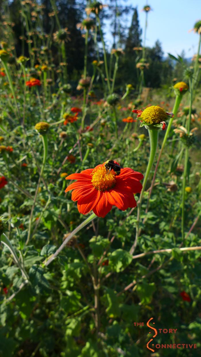 [Thumbnail for Mexican_sunflower_(Tithonia_rotundifolia)_bumblebee_by_Loxley_StoryConnective.org.jpg]