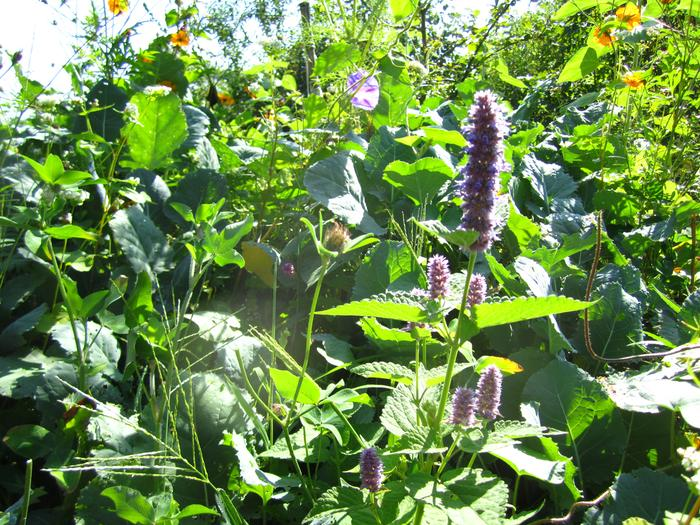 [Thumbnail for polyculture-hyssop-greens-squash.jpg]
