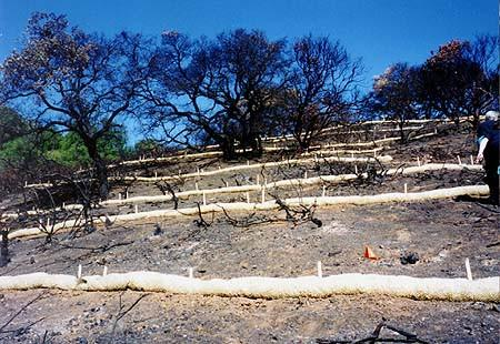 [Thumbnail for wattles_after_forest_fire_1024x1024.jpg]