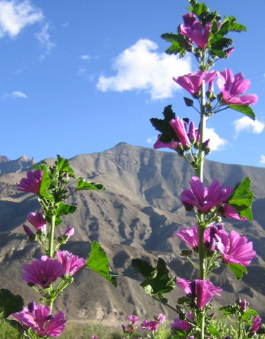 [Thumbnail for Himalayan-Hollyhock.jpg]