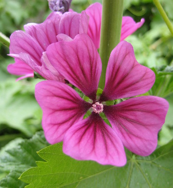 [Thumbnail for Himalayan-Hollyhock-closeup.JPG]