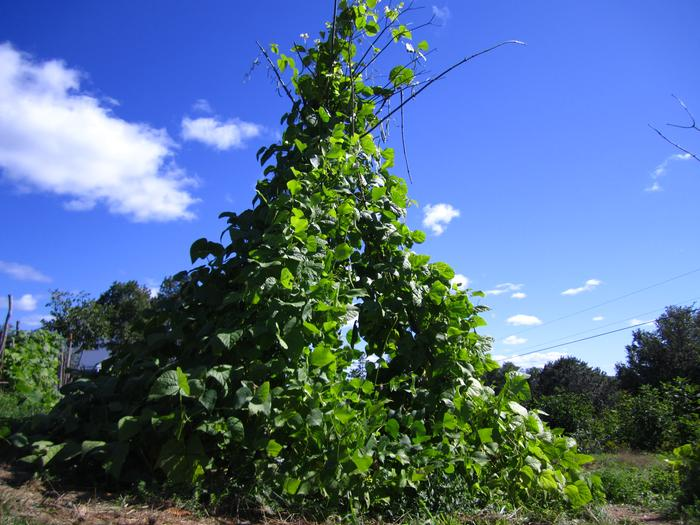 [Thumbnail for green-bean-trellis-permaculture.jpg]