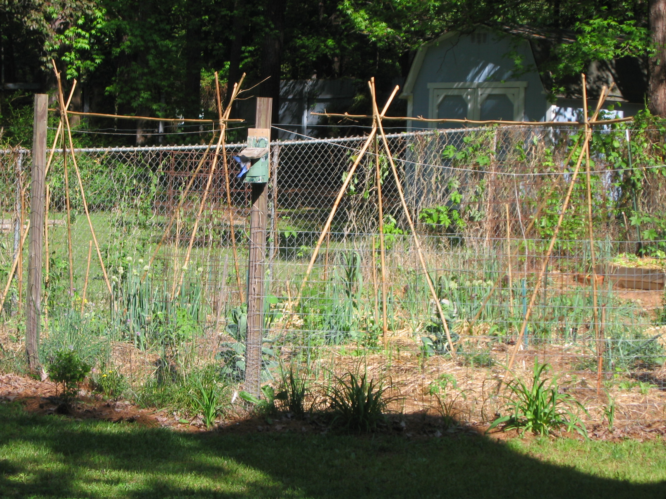 Simple trellis for green beans (organic forum at permies)