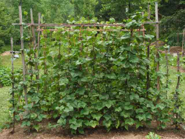 best bamboo cane pole stake all decor ideas for fences.htm simple trellis for green beans  organic forum at permies   simple trellis for green beans  organic