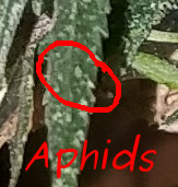 [Thumbnail for aphids.jpg]