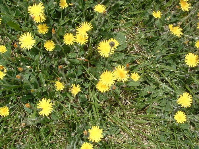 [Thumbnail for photos of yellow hawkweed CLOSEUP  may 2009 008 (4).jpg]