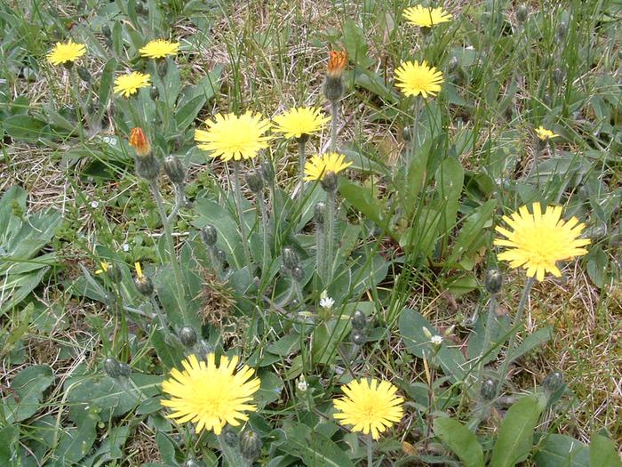 [Thumbnail for photos of yellow hawkweed CLOSEUP  may 2009 008 (10).jpg]