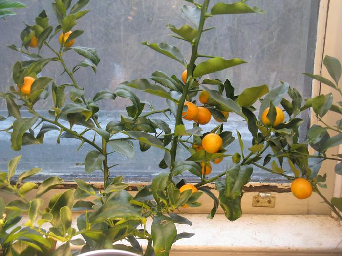 3 year old seed grown Meiwa kumquat tree with fruits.