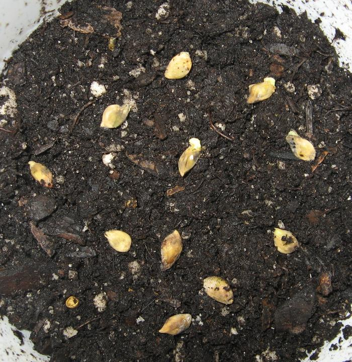Seeds in dirt will get covered with half in of soil.