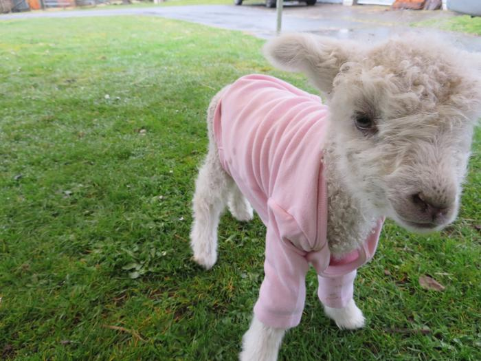 What a bummer - how to care for an orphan lamb (goats forum