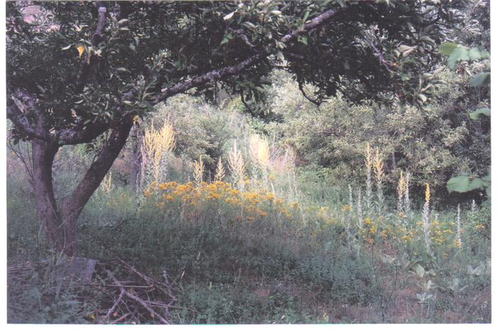 [Thumbnail for verbascum under apple trees.jpg]