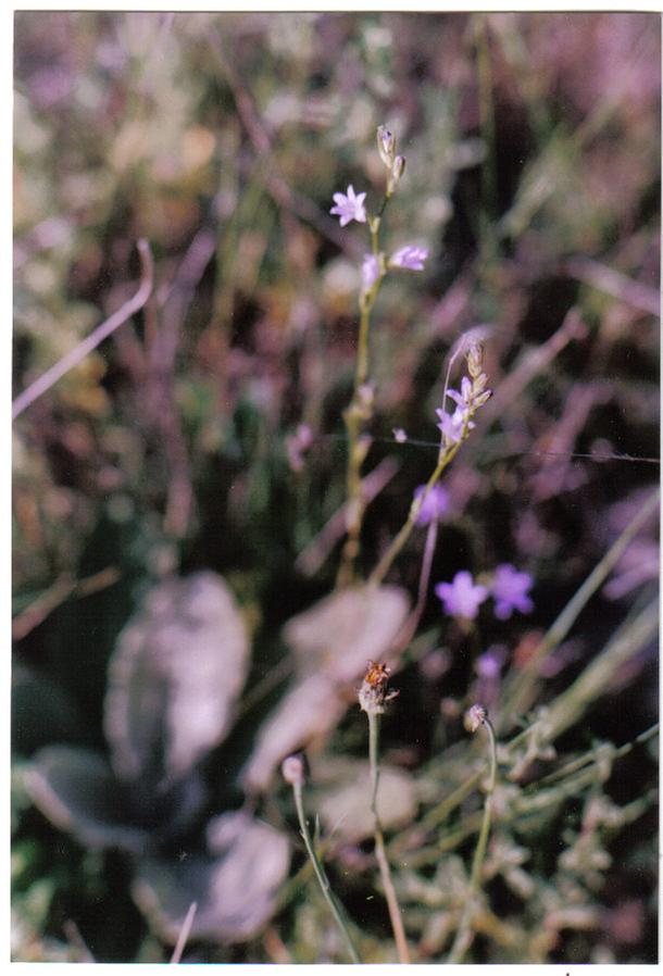 [Thumbnail for small blue flowers.jpg]