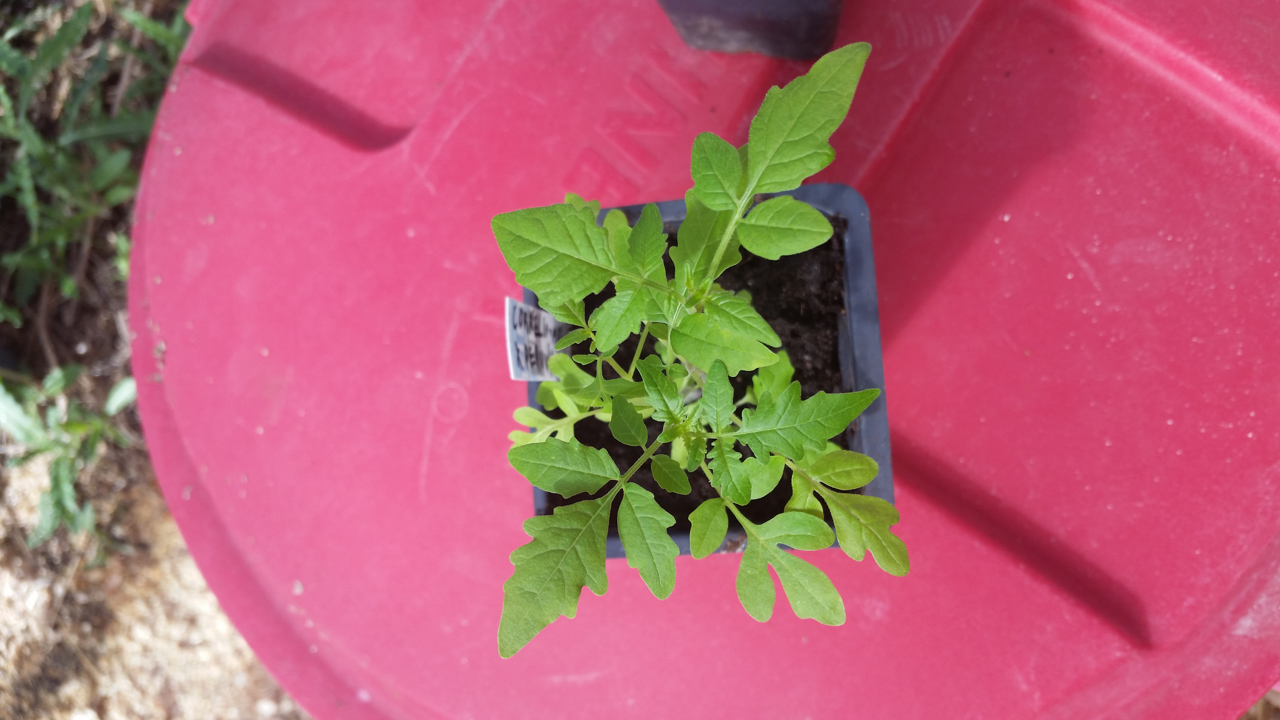 Direct Seeded Tomato Breeding Project Year 2 (swapping and breeding ...