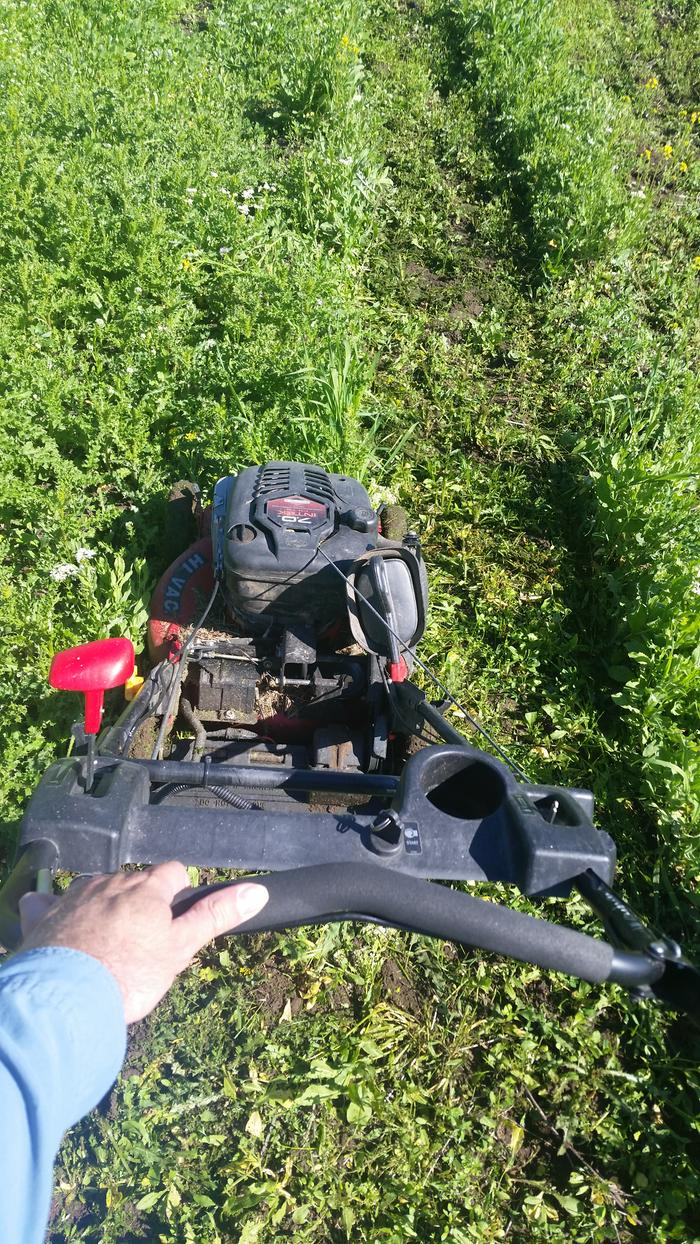 Mowing between rows of direct seeded tomatoes