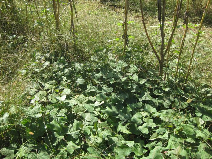 [Thumbnail for Okra-with-Sweet-Potato-mulch-1.jpg]