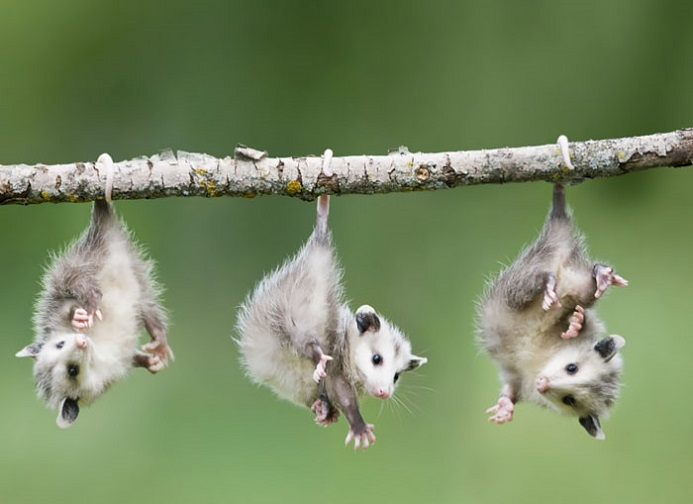 [Thumbnail for baby-opossums.jpg]