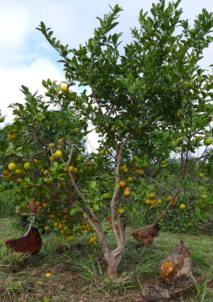 [Thumbnail for StoryConnective_Maui-_fruit_tree_chickens_by_Loxley_(CC-BY-SA-3.0-US).jpg]