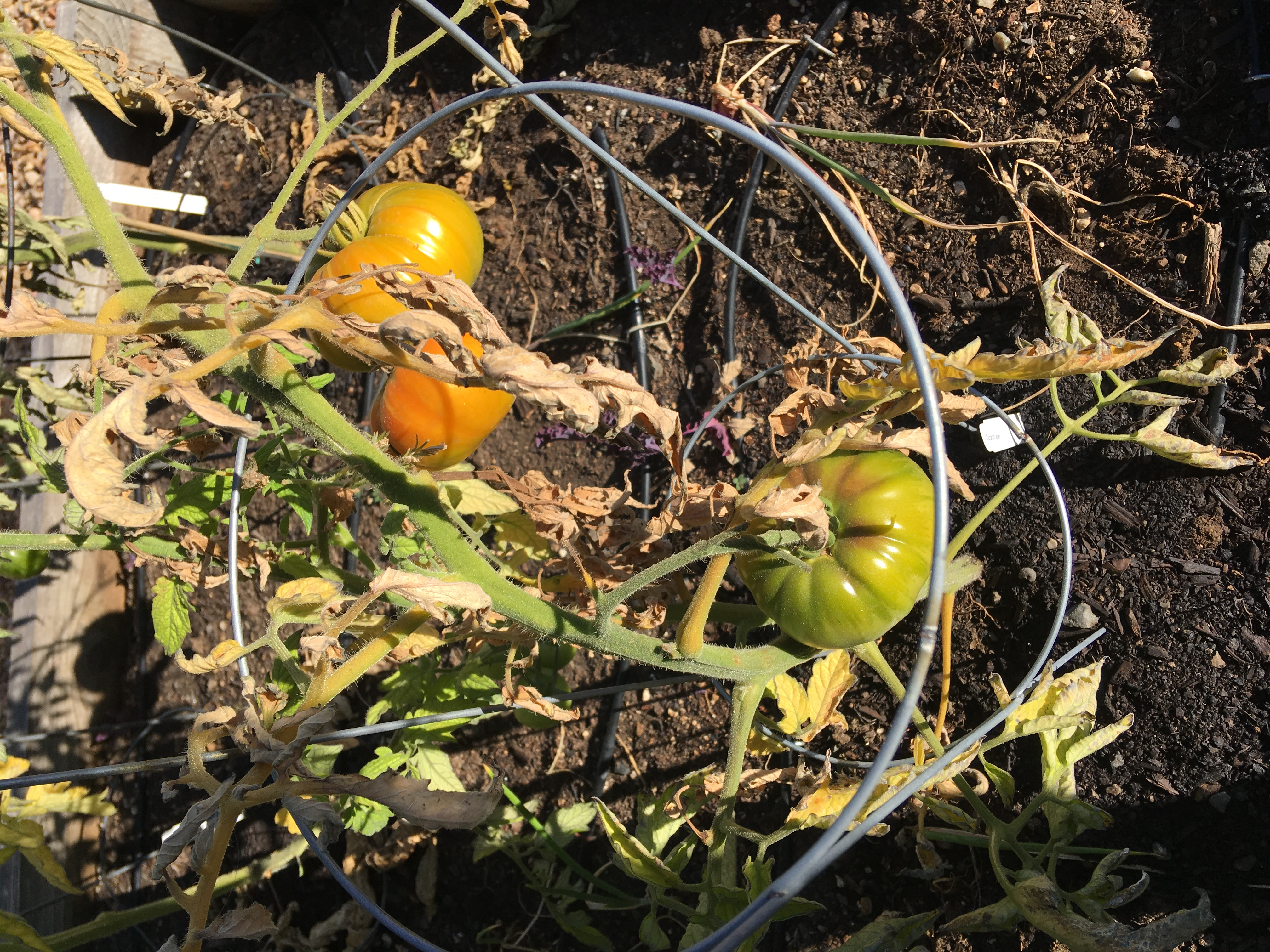 Soil borne tomato diseases (projects forum at permies)
