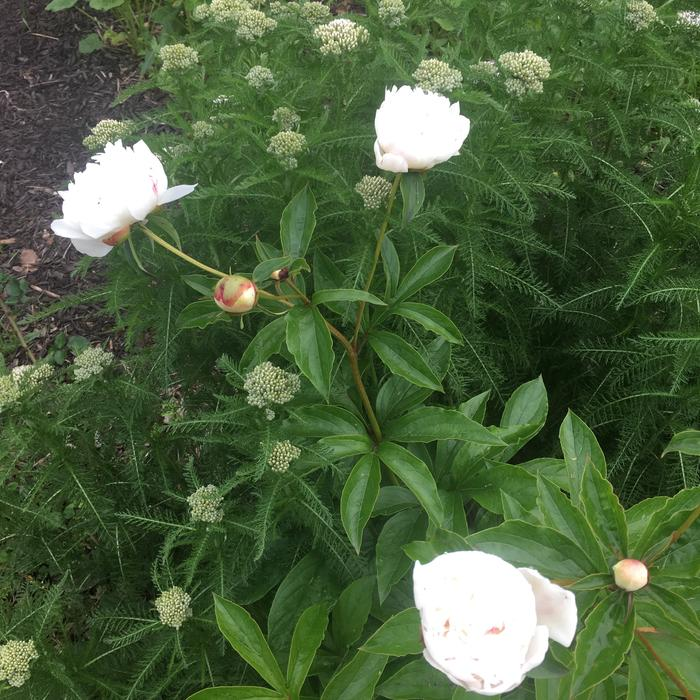 First blooms on peonies that were planted last year