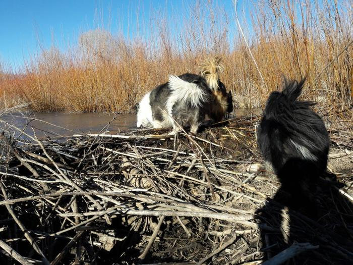 [Thumbnail for Sounds-of-water-beaver-dam-silly-dogs-Sapello-River-Dec-2018.jpg]