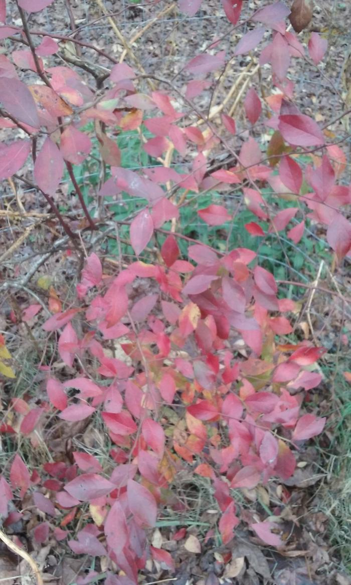 Blueberries with red Fall leaves