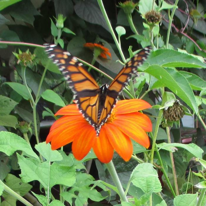[Thumbnail for monarch-and-mexican-sunflower.jpg]