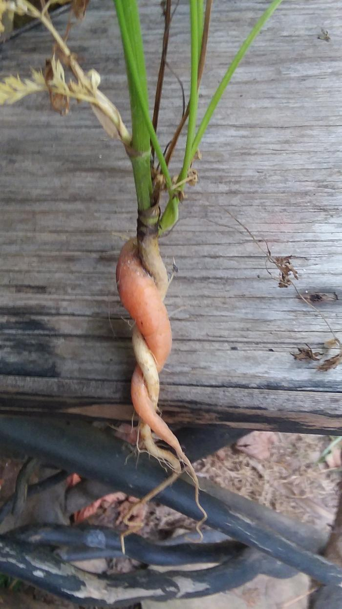 Wild and garden carrot entwined