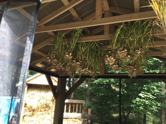 this year's harvest of 277 bulbs took less than an hour to harvest and a 1/2 hour to hang. Hung in a screened-off area to prevent/avoid a Leek Moth attack/infestation.